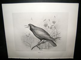 Frohawk 1898 Antique Bird Print. Rook